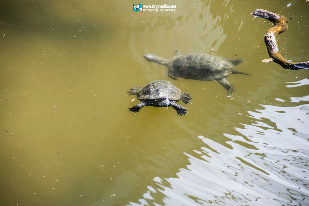 Discover more than 100 turtles in the little lake of Vrasna Beach